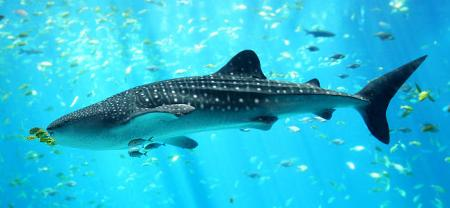 tiburon-ballena.jpg