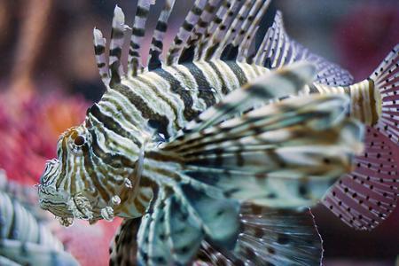 pez leonjpg
