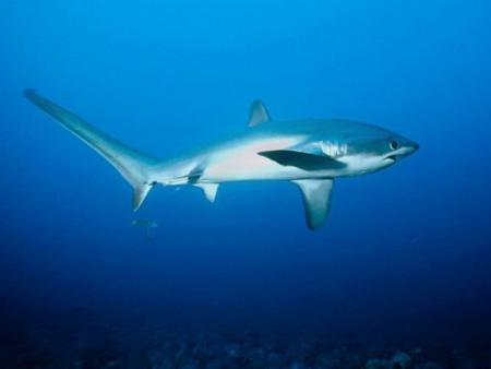 tiburon-zorro.jpg