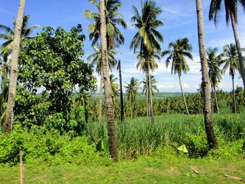 palmeras-filipinas.jpg